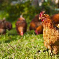 Geflügel beziehen wir von einem Hof am Fuß des Vogelsberg – dort können die Hühner frei herumlaufen (übrigens es ist auch unser Lieferant für freilaufende Lämmer)